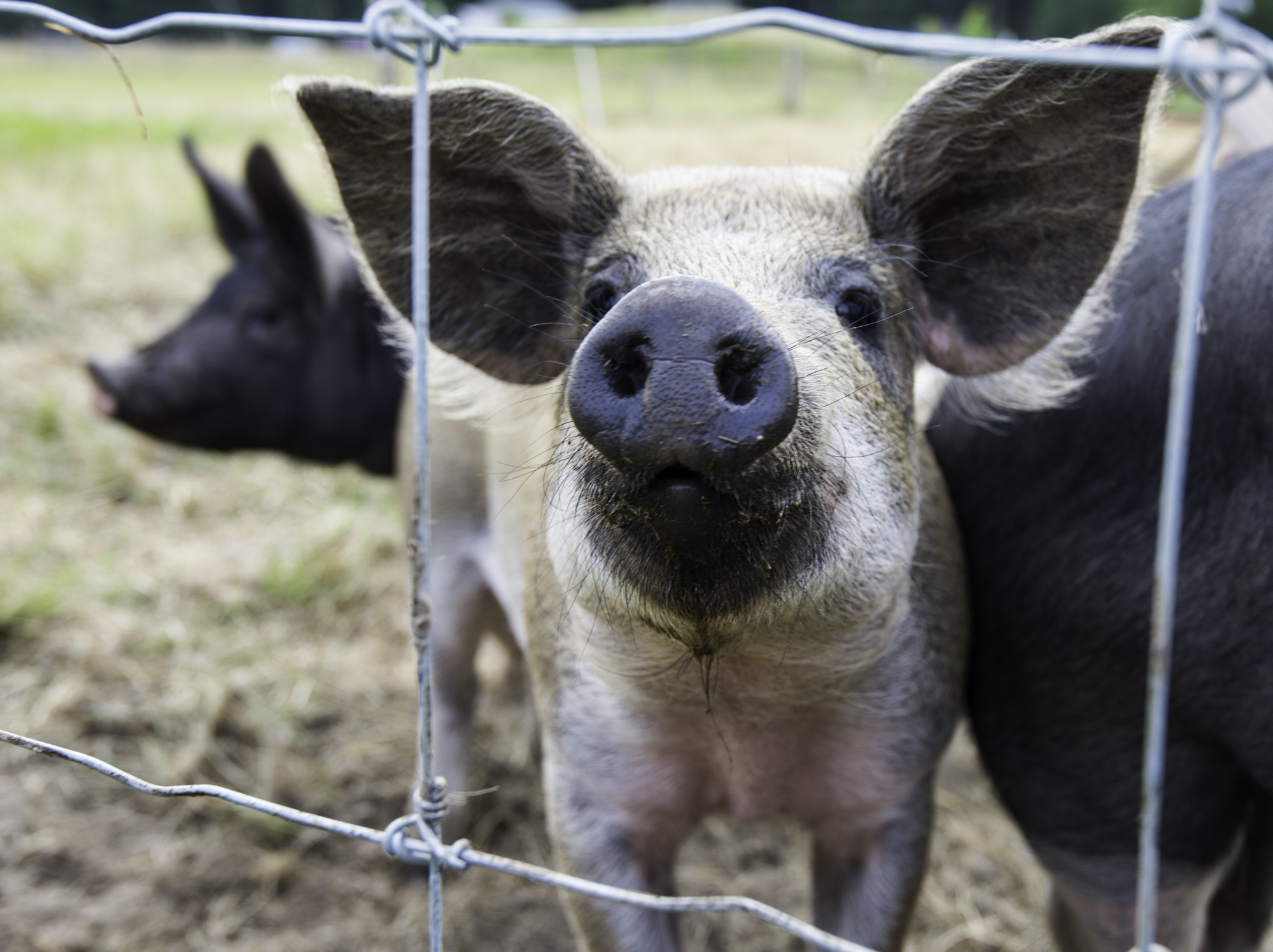 lopez island farming farmers pigs organic local