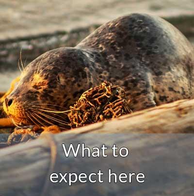 lopez island seal pup beach wildlife