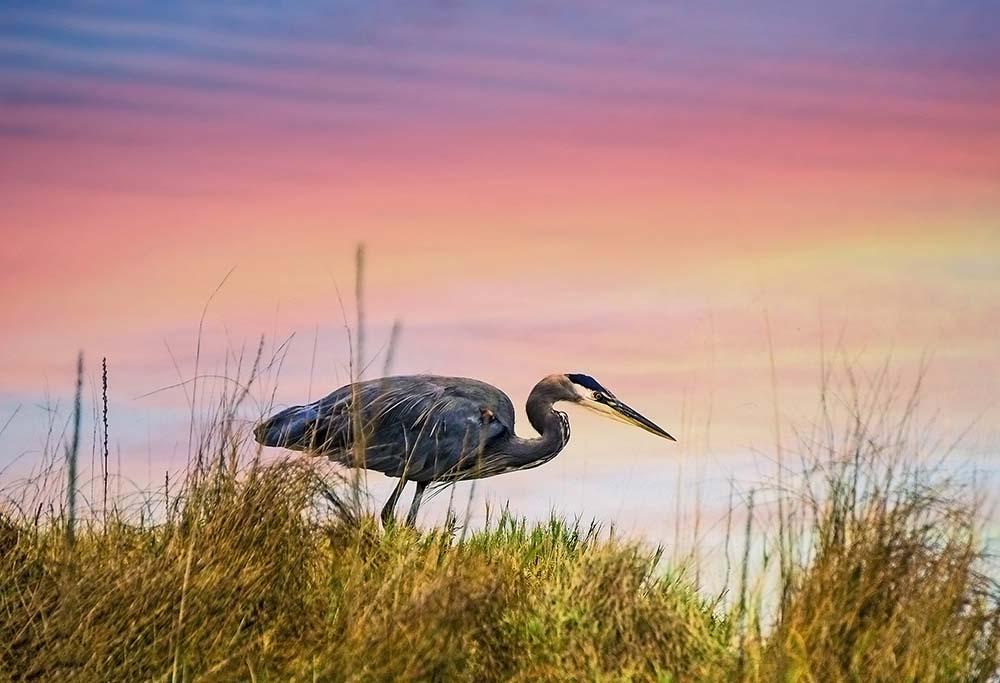 lopez island karlena pickering wildlife blue heron